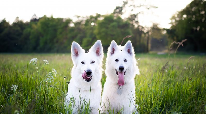 Zwei weiße Hunde im Gras, hoffentlich nicht mit der Braunen Hundezecke befallen