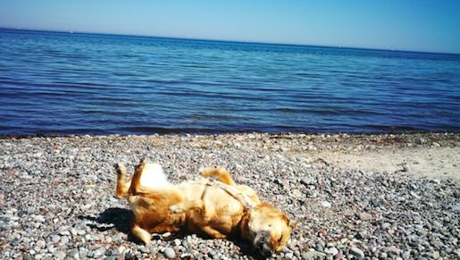 Hund wälzt sich am Strand