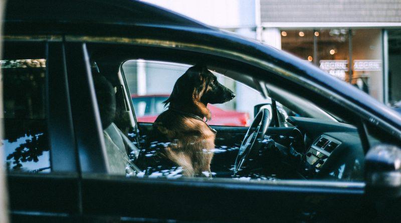 Hund sitzt auf dem Fahrersitz eines Autos